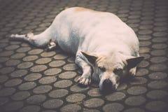 Den hemlösa hunden sover på gåvägen Royaltyfri Fotografi