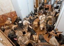 Den hemlösa hundkapplöpningen som kastas av folk Royaltyfri Fotografi