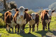 Den Hereford kor och kalven betar in Royaltyfria Bilder
