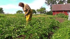 Den höga trädgårdsmästarekvinnan i flåsanden att bry sig potatisväxter i lantligt fält arkivfilmer
