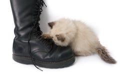 Den Himalauan katten som spelar med en känga, snör åt Fotografering för Bildbyråer