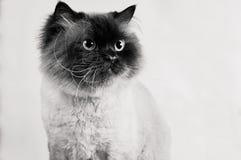 Den Himalayan katten med frisyren sitter i halva-vänd svartvit royaltyfria foton