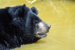 Den Himalayan svarta björnen tar ett bad Royaltyfri Fotografi