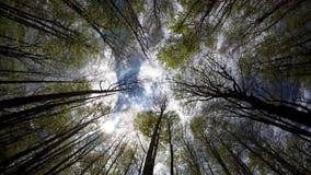Den Himmel durch die hohen Bäume des Holzes oben schauend, würzen Sie im Frühjahr stock video footage