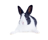 Den holländska kaninen, också som är bekant som nederländare eller Brabander isolerat Royaltyfri Foto