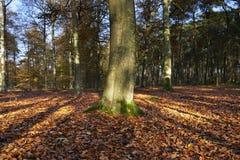 Den holländska skogen i höst på en solig dag med blå himmel och den härliga solen rays Royaltyfria Bilder