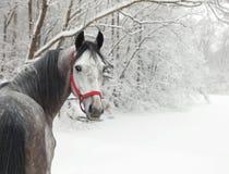 Den Holstein dressyrhästen Dapple grå färger med tygeln royaltyfria bilder