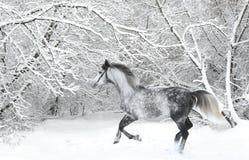 Den Holstein dressyrhästen Dapple grå färger med tygeln Royaltyfria Foton