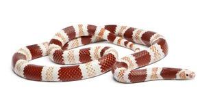 Den honduranska Albinotangerinen mjölkar ormen fotografering för bildbyråer