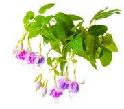 Den härliga blommande filialen av den försiktiga lila fuchsiablomman är isolator Royaltyfri Foto