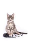 Den härliga lilla kattungen spelar med datormusen Arkivfoto