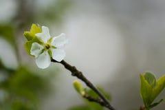 Den härliga plommonet blomstrar på en naturlig bakgrund Royaltyfri Foto