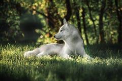 Den härliga Siberian skrovliga hunden gillar en varg Royaltyfri Fotografi