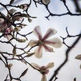 Den härliga vita magnolian blomstrar på en naturlig bakgrund Arkivfoton