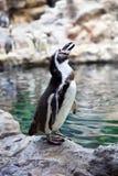 Den Humboldt pingvinet på stenen seglar utmed kusten Royaltyfri Bild