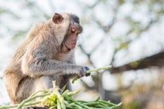 Den hungriga apan äter Arkivbilder