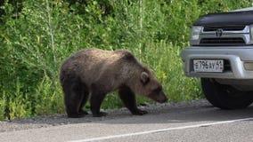 Den hungriga brunbjörnen som går på vägen och, tigger mat från folk arkivfilmer