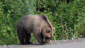 Den hungriga Kamchatka brunbjörnen äter pajen på vägen arkivfilmer