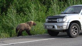 Den hungriga Kamchatka brunbjörnen går på vägen och tigger mat från folk lager videofilmer