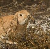 Den hungriga kaninen Arkivfoto