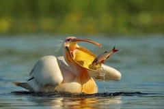 Den hungriga pelikan Royaltyfri Bild
