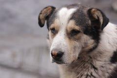 Den hungriga tillfälliga hunden är ledsen vänta på hans förlage Arkivbild