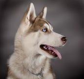 Den Husky sleden förföljer Royaltyfria Foton