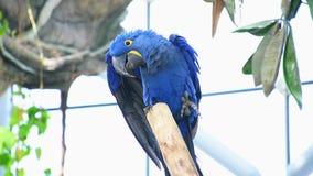 Den hyacintaraAnodorhynchus hyacinthinusen, eller hyacinthineara eller blå ara som sätta sig på en filial i Sydamerika lager videofilmer