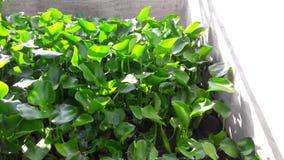 Den Hyacinth Leaf för vattenhyacinten pinnen kan lagas mat Royaltyfri Bild