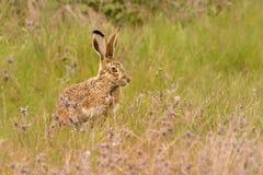 Den Iberian haren - Lepusgranatensis - den Granada haren, också som är bekant som den Iberian haren, är art för en hare som kan f arkivbilder