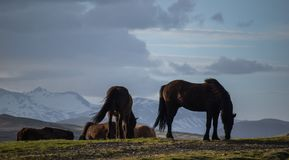Den iconic Island hästen arkivfoton