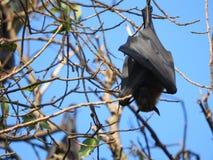 Den illavarslande flygahundkappl?pningen i Sri Lanka sitter i tr?den p? en klar dag mot den bl?a himlen royaltyfria foton