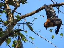 Den illavarslande flygahundkappl?pningen i Sri Lanka sitter i tr?den p? en klar dag mot den bl?a himlen arkivfoton