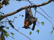 Den illavarslande flygahundkappl?pningen i Sri Lanka sitter i tr?den p? en klar dag mot den bl?a himlen royaltyfri foto