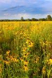 Den Illinois prärien blommar i blom Arkivbild