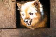 Den ilskna hunden av byrackan, grinar hans tänder i båset royaltyfri foto