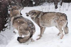 Den ilskna kampen av vargerna som grinar tänder, snabb förehavanden, retar upp och rasar Vintern snöar det royaltyfri bild