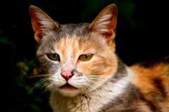 Den ilskna katten av leh royaltyfri foto