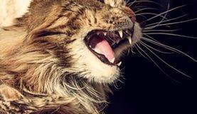 Den ilskna katten tystar ned arkivfoto