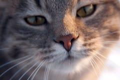 Den ilskna katten tystar ned närbild royaltyfri fotografi