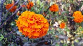 den indiska blomman royaltyfria bilder