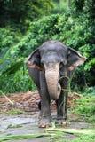 Den indiska elefanten Royaltyfri Foto