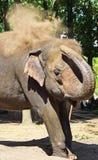Den indiska elefanten tar ett dammbad Royaltyfria Foton