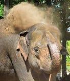 Den indiska elefanten tar ett dammbad Royaltyfri Bild