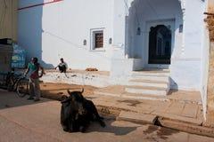 Den indiska kon ligger på vägen mot det forntida indiska huset Fotografering för Bildbyråer