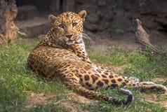Den indiska leoparden vilar i hans fångenskap på en djur- och djurlivreserv i Indien Royaltyfri Bild