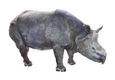 Den indiska noshörningen. Fotografering för Bildbyråer