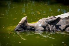 Den indiska noshörningen & x28en; Större en-horned rhinoceros& x29; simma Royaltyfri Foto