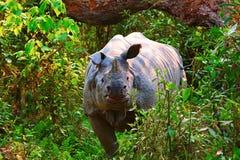 Den indiska noshörningen, noshörningunicornis royaltyfri fotografi