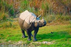 Den indiska noshörningen, noshörningunicornis royaltyfria bilder